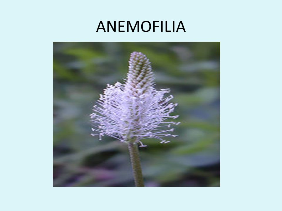 ANEMOFILIA
