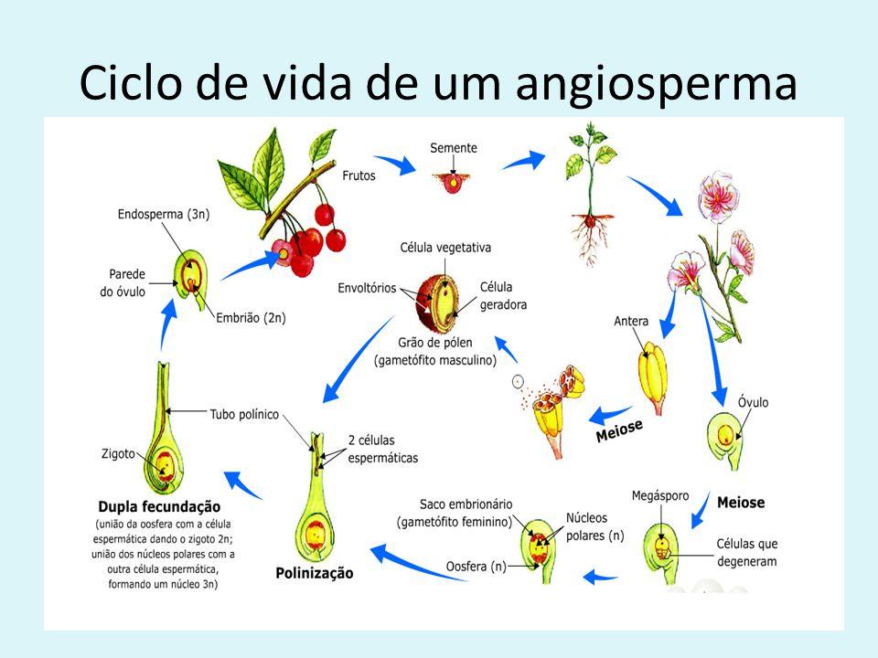 Ciclo de vida de um angiosperma