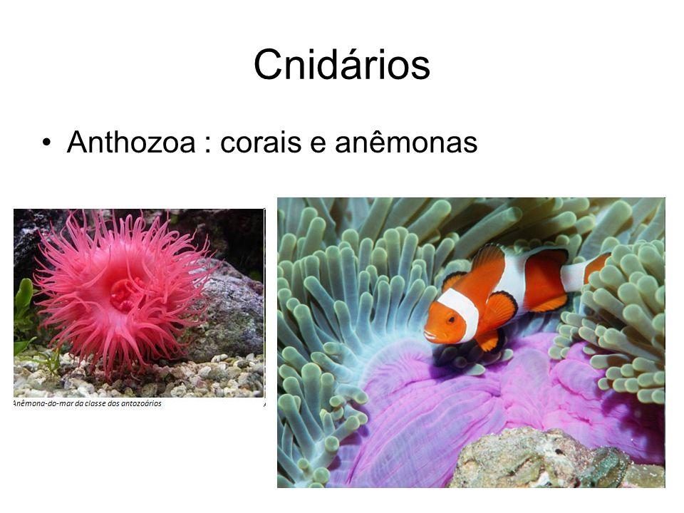 Cnidários Anthozoa : corais e anêmonas