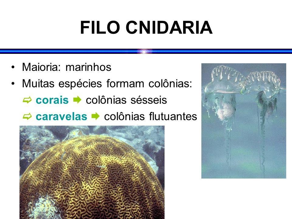 FILO CNIDARIA Maioria: marinhos Muitas espécies formam colônias: