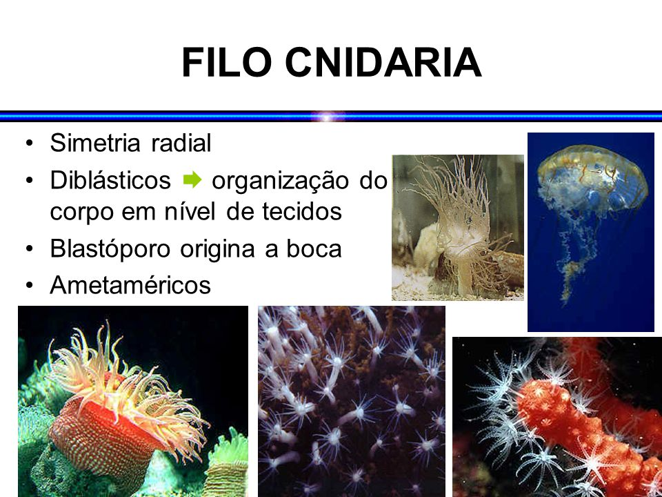 FILO CNIDARIA Simetria radial