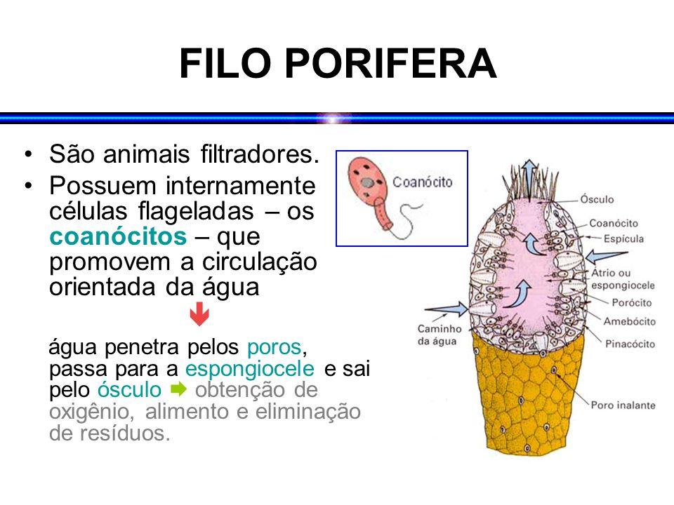 FILO PORIFERA São animais filtradores.