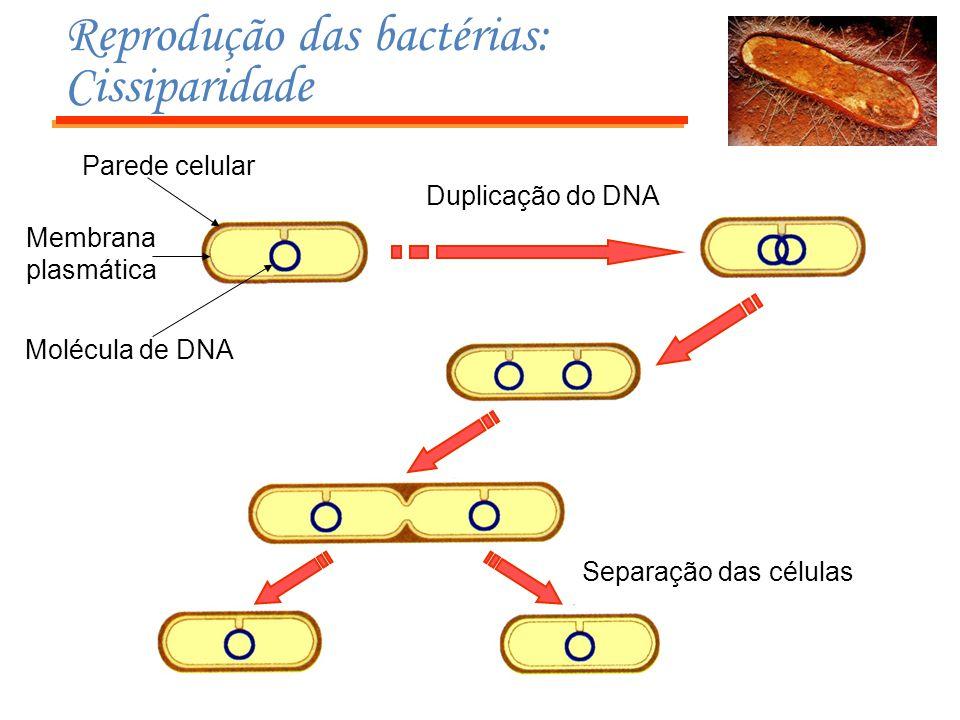 Reprodução das bactérias: Cissiparidade
