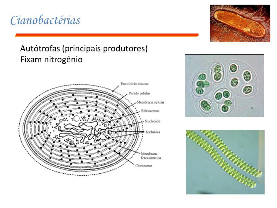 Cianobactérias Autótrofas (principais produtores) Fixam nitrogênio