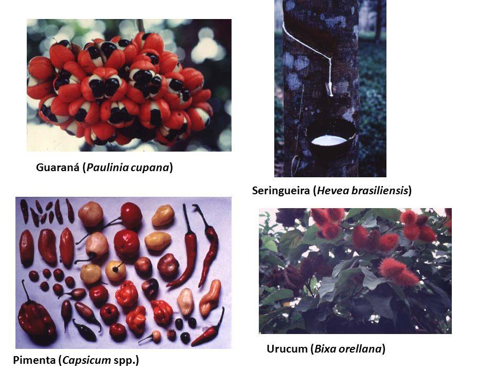 Urucum (Bixa orellana)