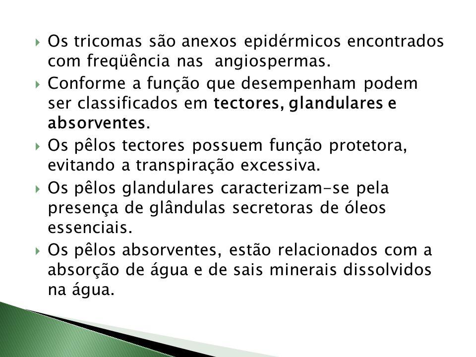 Os tricomas são anexos epidérmicos encontrados com freqüência nas angiospermas.