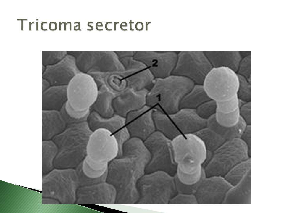 Tricoma secretor