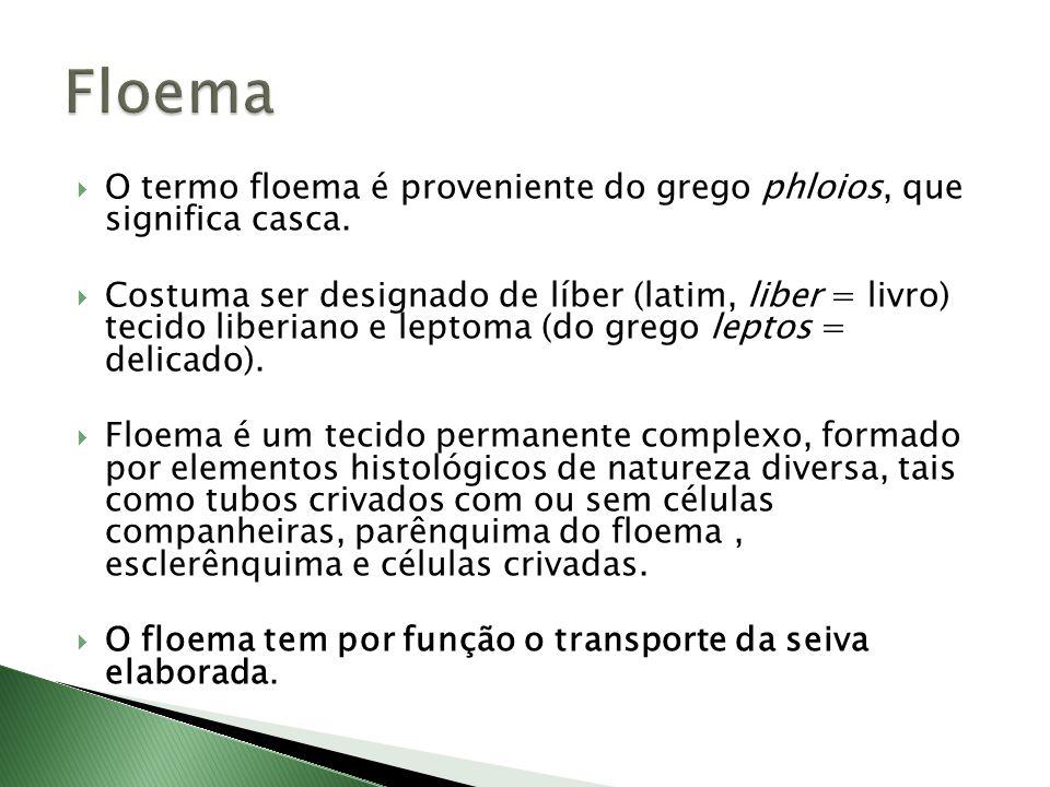 Floema O termo floema é proveniente do grego phloios, que significa casca.
