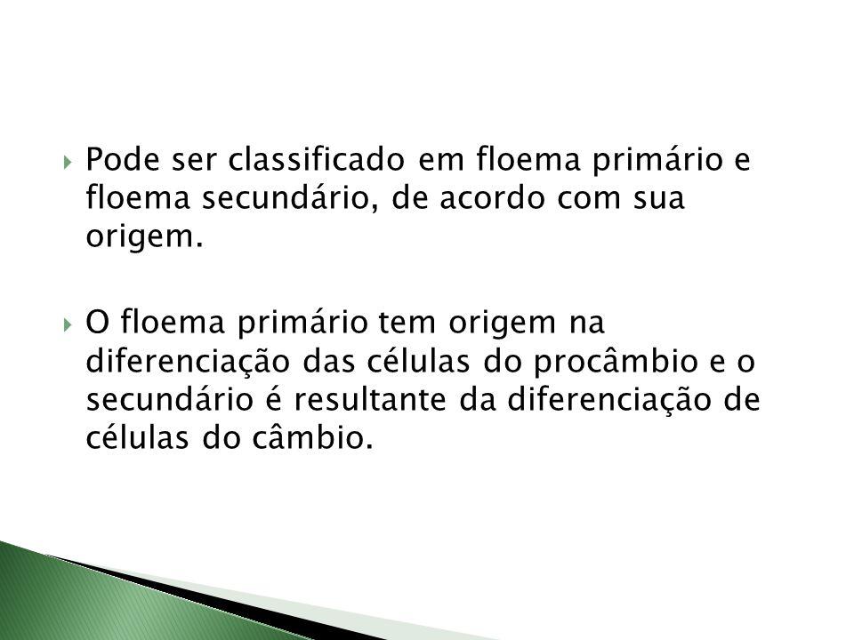 Pode ser classificado em floema primário e floema secundário, de acordo com sua origem.