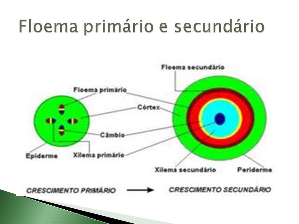 Floema primário e secundário