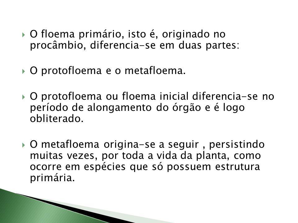 O floema primário, isto é, originado no procâmbio, diferencia-se em duas partes: