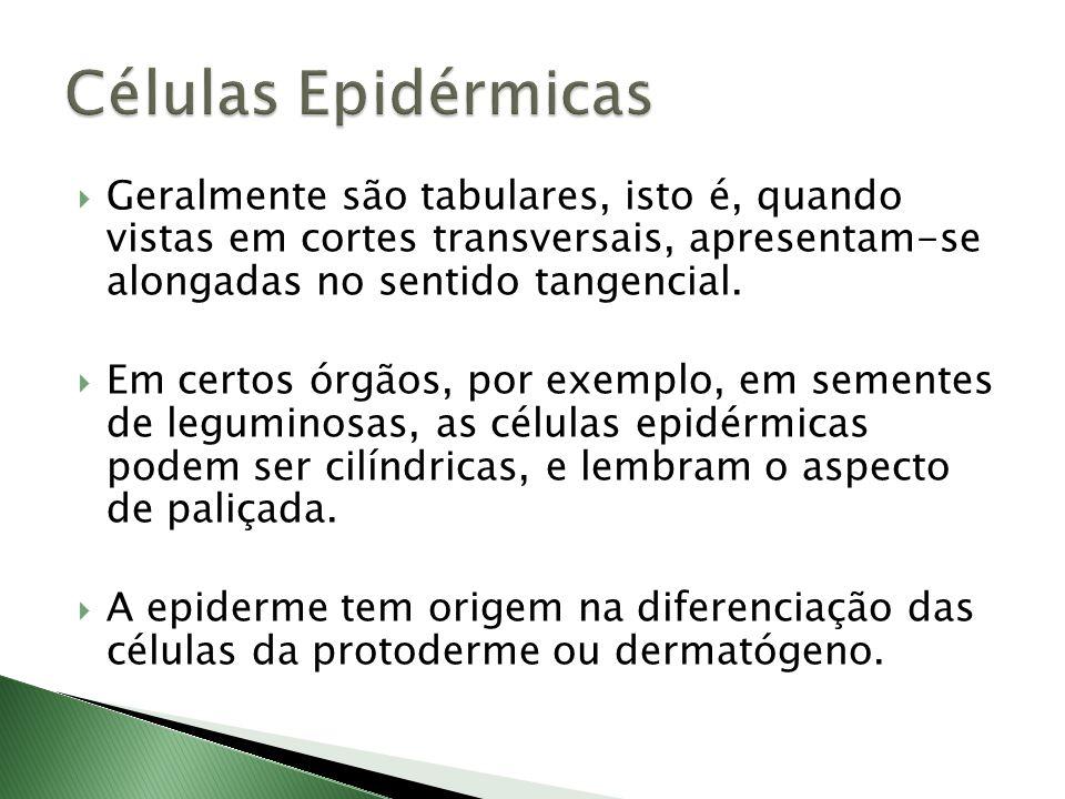 Células Epidérmicas Geralmente são tabulares, isto é, quando vistas em cortes transversais, apresentam-se alongadas no sentido tangencial.