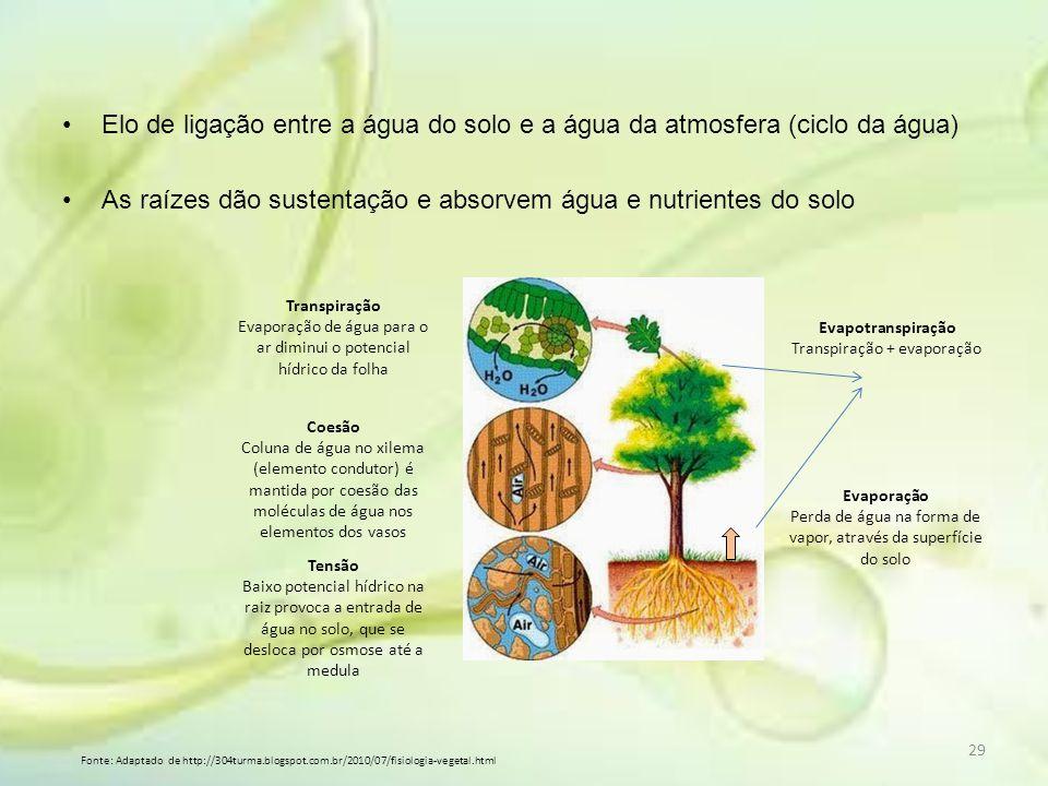 As raízes dão sustentação e absorvem água e nutrientes do solo