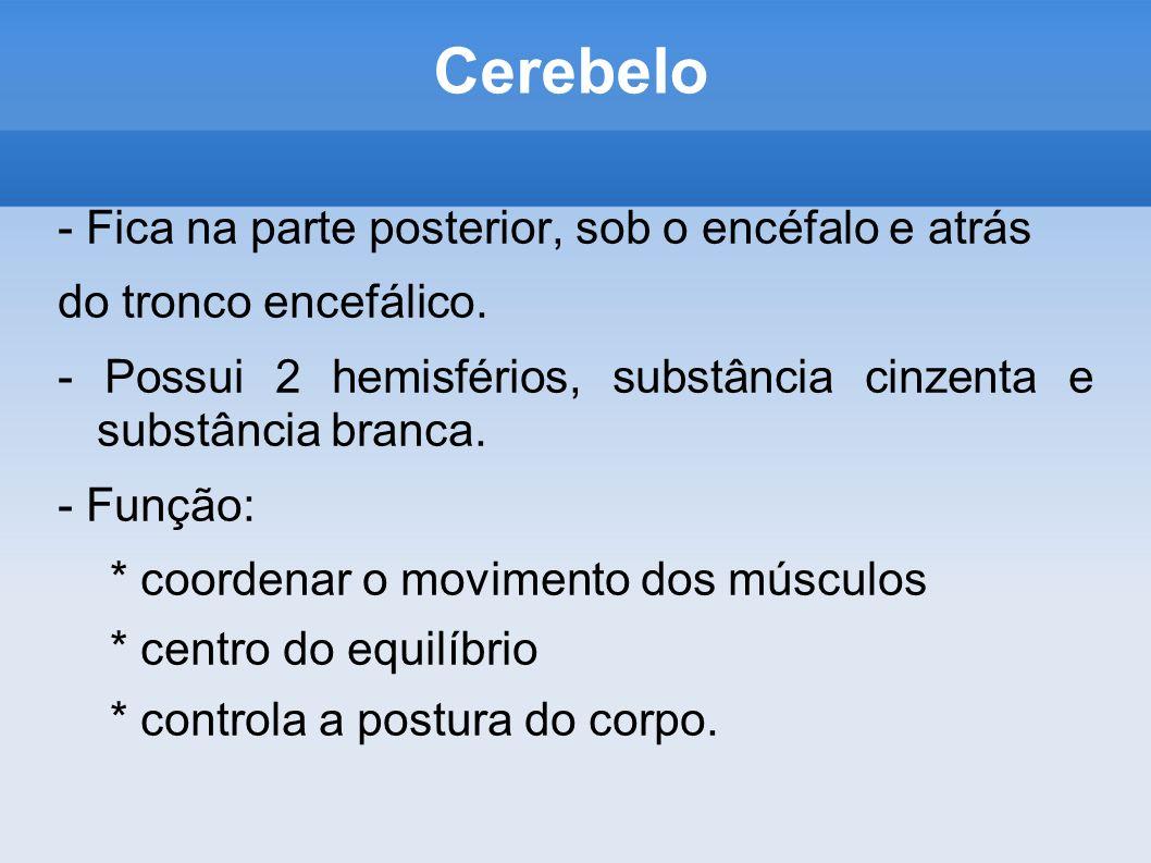 Cerebelo - Fica na parte posterior, sob o encéfalo e atrás
