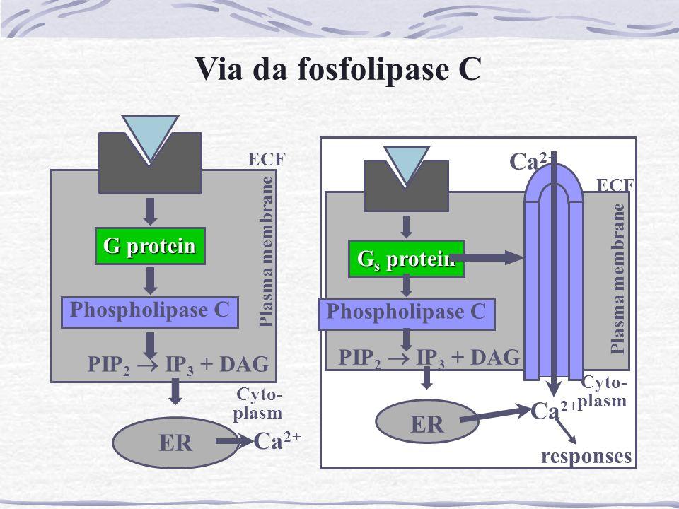 Via da fosfolipase C Ca2+ ER ER Ca2+ G protein Gs protein