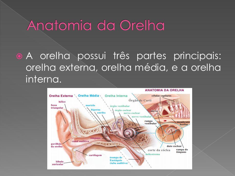 Anatomia da Orelha A orelha possui três partes principais: orelha externa, orelha média, e a orelha interna.