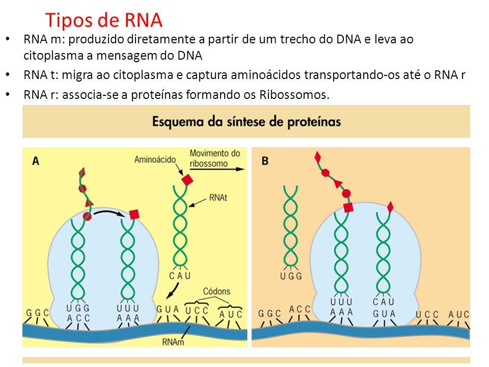 Tipos de RNA RNA m: produzido diretamente a partir de um trecho do DNA e leva ao citoplasma a mensagem do DNA.