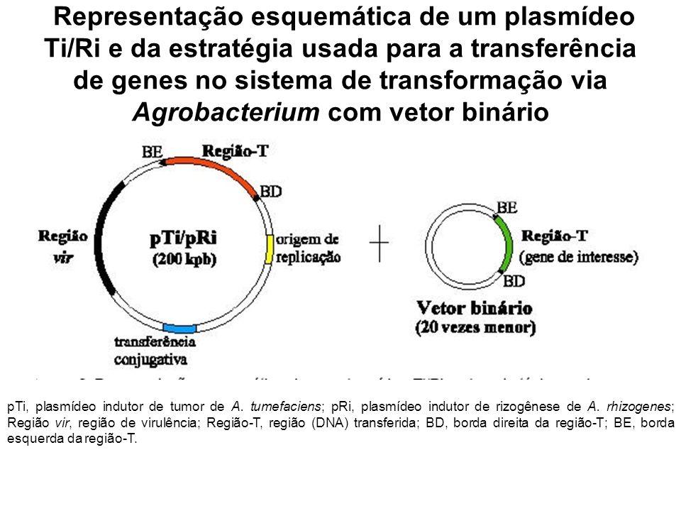 Representação esquemática de um plasmídeo Ti/Ri e da estratégia usada para a transferência de genes no sistema de transformação via Agrobacterium com vetor binário