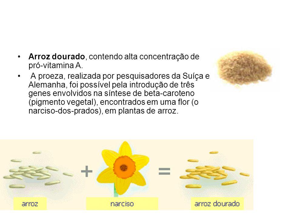 Arroz dourado, contendo alta concentração de pró-vitamina A.