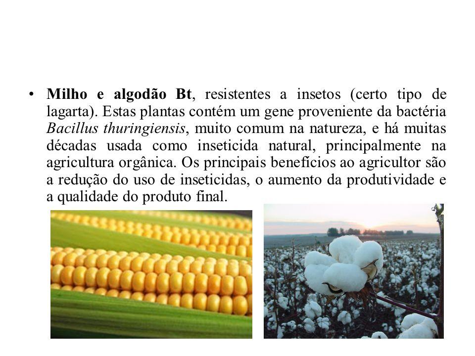 Milho e algodão Bt, resistentes a insetos (certo tipo de lagarta)