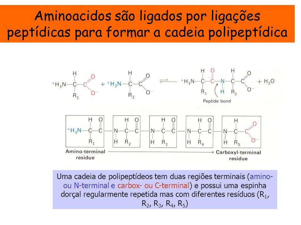 Aminoacidos são ligados por ligações peptídicas para formar a cadeia polipeptídica