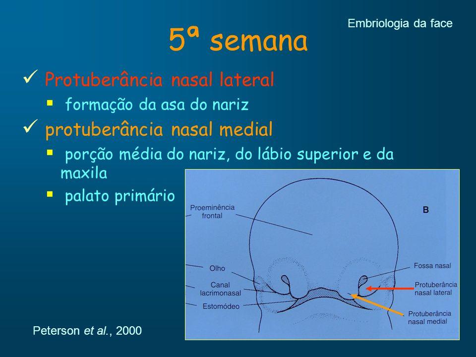 5ª semana Protuberância nasal lateral protuberância nasal medial