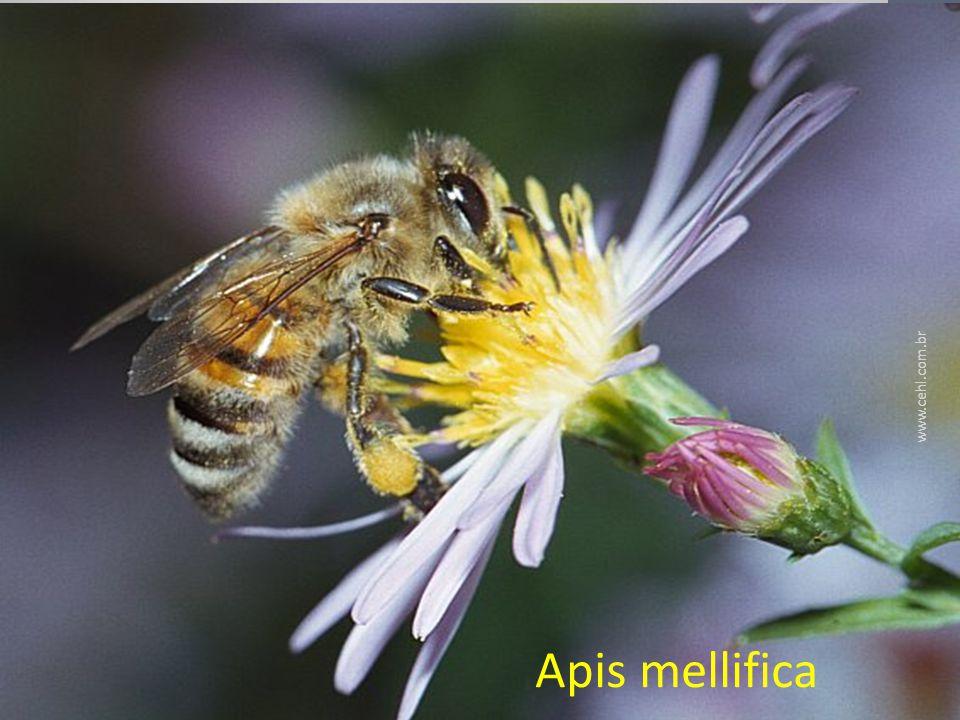 Apis mellifica Classe Insecta De interesse Homeopático