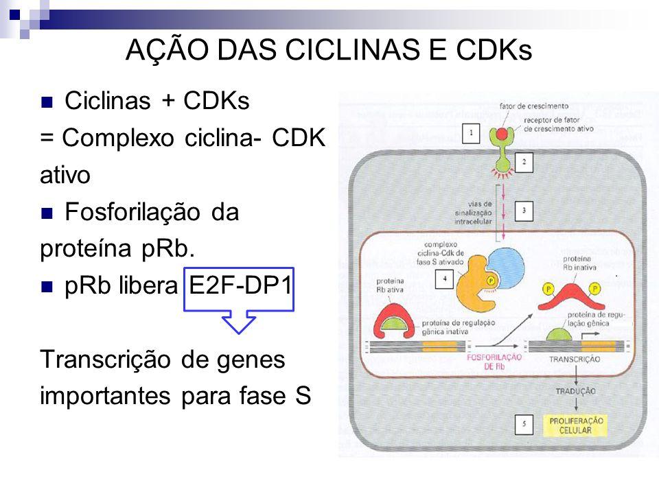 AÇÃO DAS CICLINAS E CDKs
