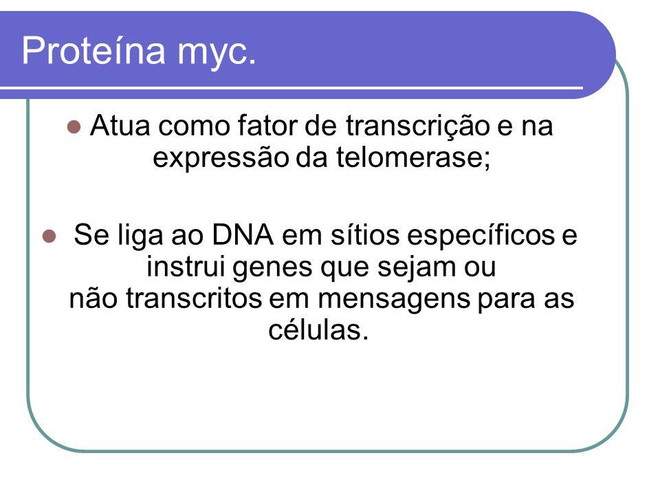 Atua como fator de transcrição e na expressão da telomerase;