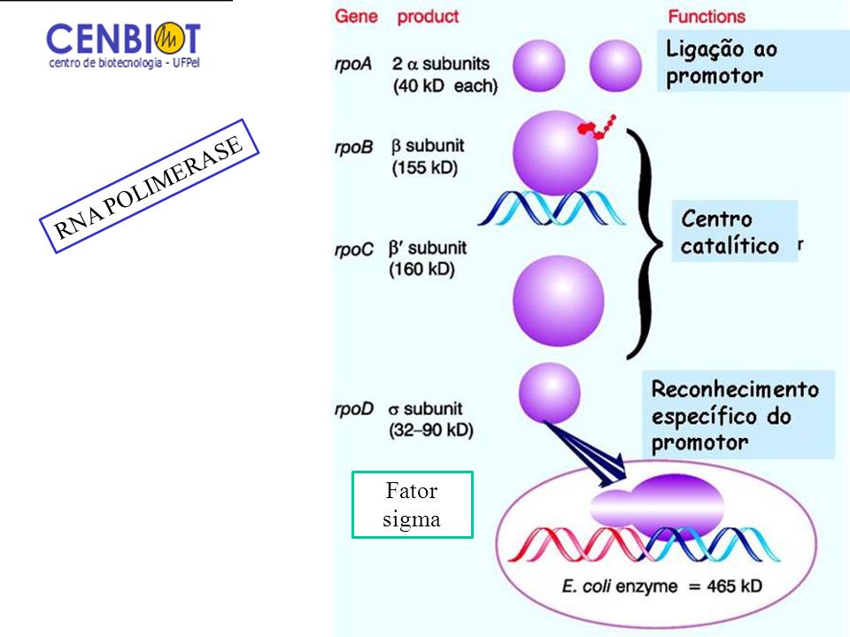 3/25/2017 RNA POLIMERASE Fator sigma