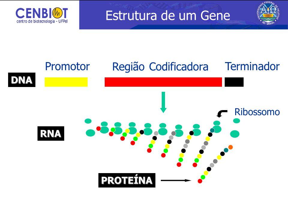 Estrutura de um Gene Promotor Região Codificadora Terminador DNA