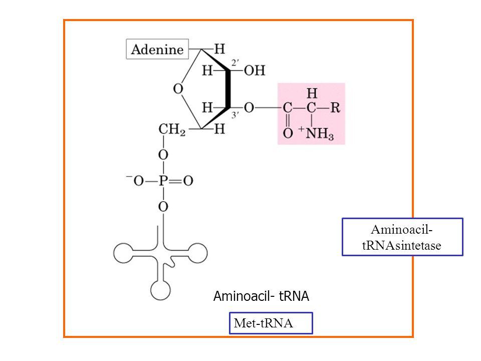 Aminoacil-tRNAsintetase