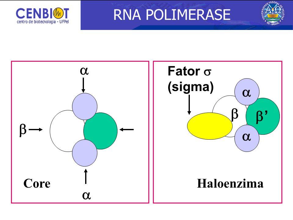 RNA POLIMERASE    '    Fator  (sigma) Core Haloenzima