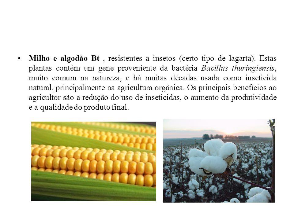 Milho e algodão Bt , resistentes a insetos (certo tipo de lagarta)