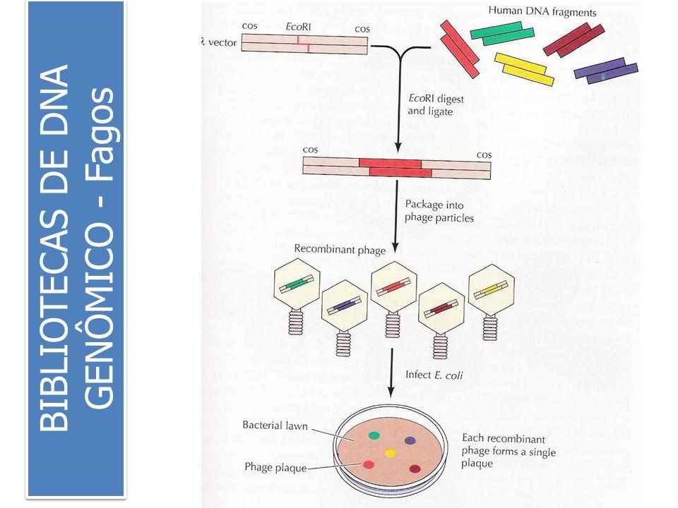 BIBLIOTECAS DE DNA GENÔMICO - Fagos