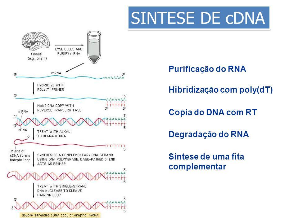 SINTESE DE cDNA Purificação do RNA Hibridização com poly(dT)