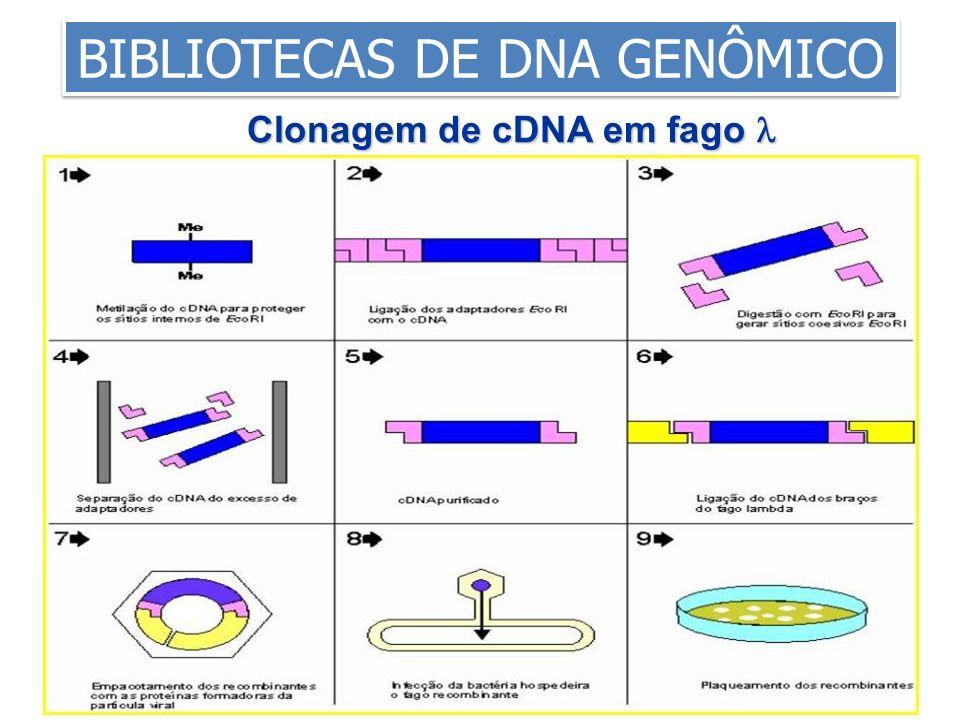Clonagem de cDNA em fago 