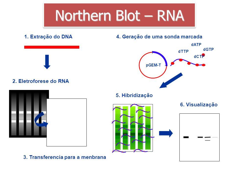 Northern Blot – RNA 1. Extração do DNA 4. Geração de uma sonda marcada