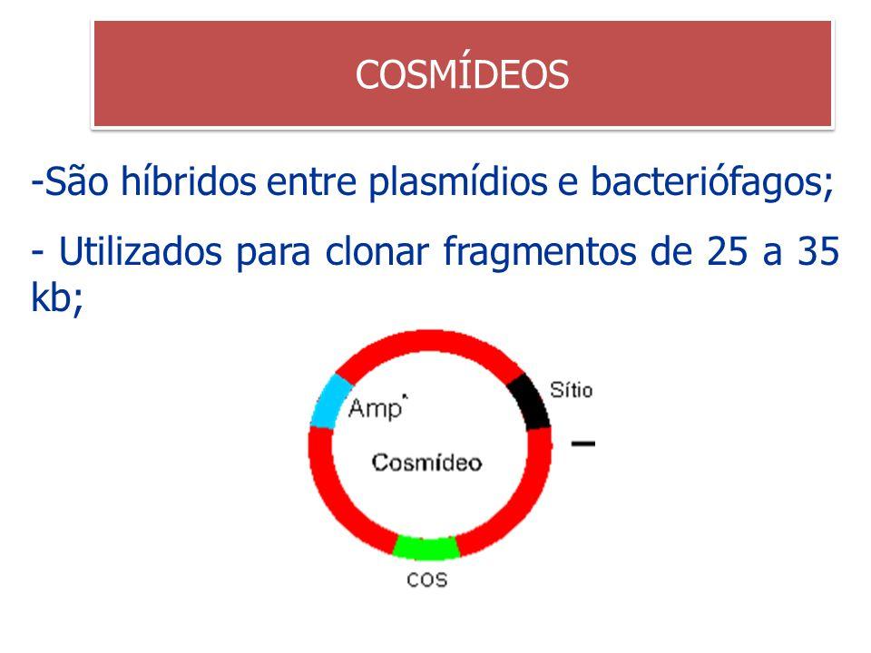 São híbridos entre plasmídios e bacteriófagos;