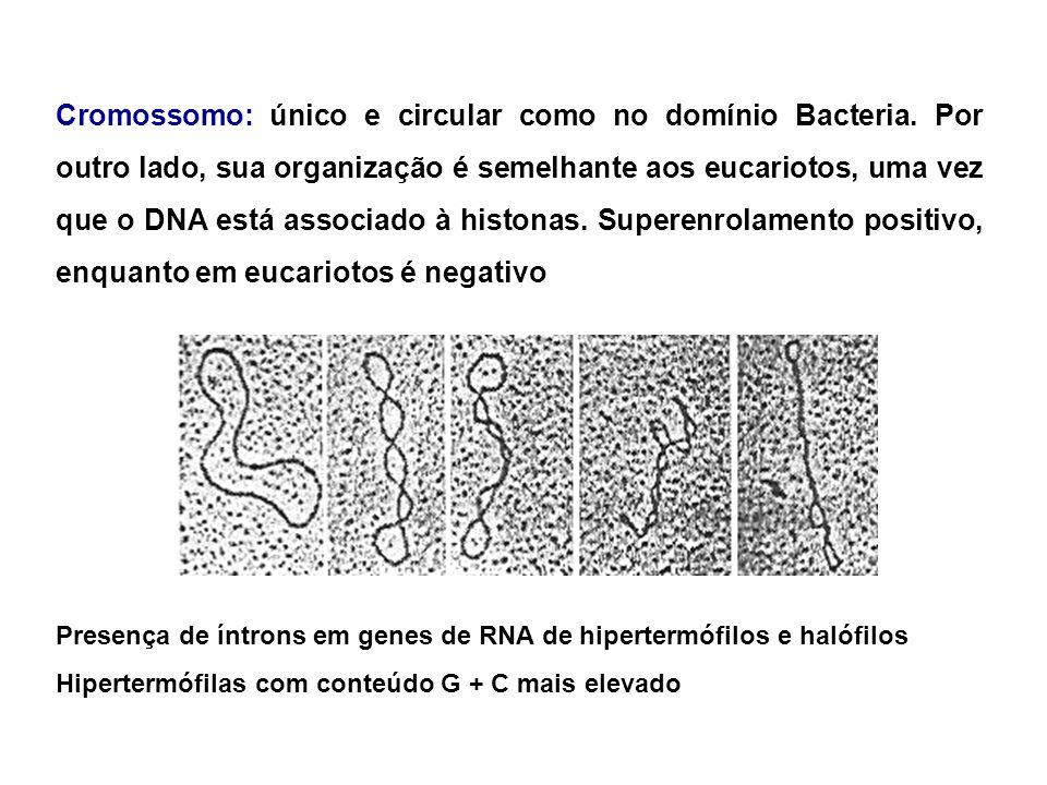Cromossomo: único e circular como no domínio Bacteria
