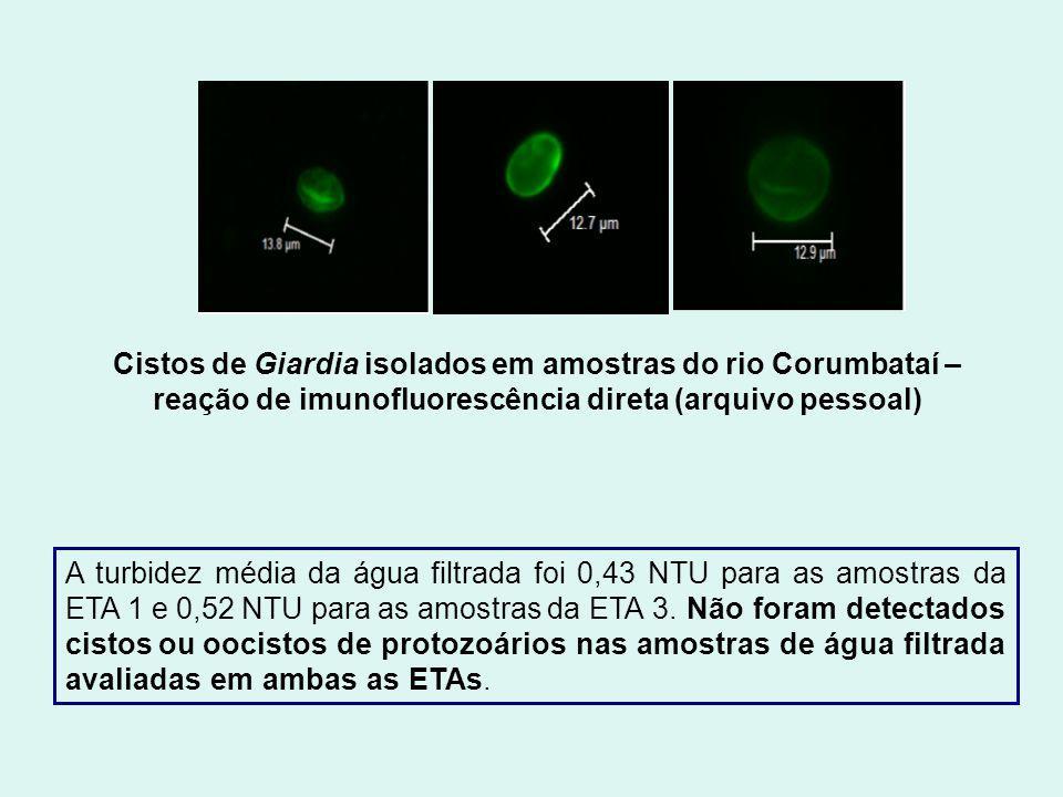 Cistos de Giardia isolados em amostras do rio Corumbataí – reação de imunofluorescência direta (arquivo pessoal)