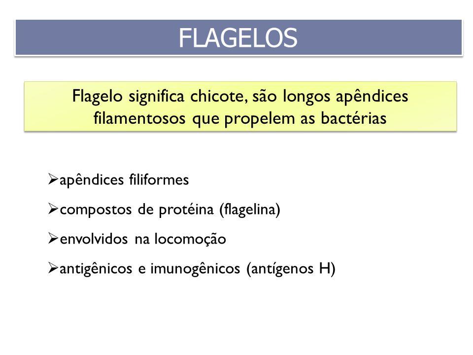 FLAGELOS Flagelo significa chicote, são longos apêndices filamentosos que propelem as bactérias. apêndices filiformes.