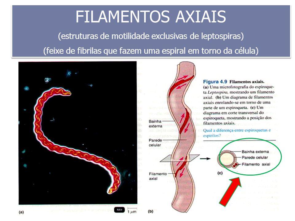 FILAMENTOS AXIAIS (estruturas de motilidade exclusivas de leptospiras)