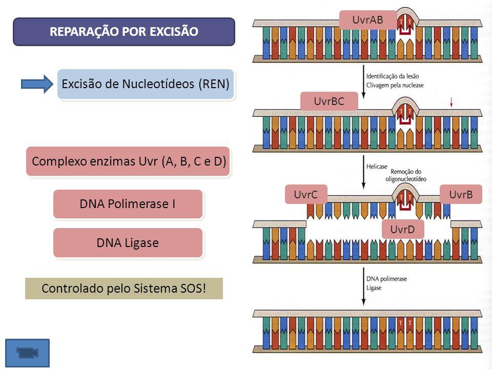 Excisão de Nucleotídeos (REN)