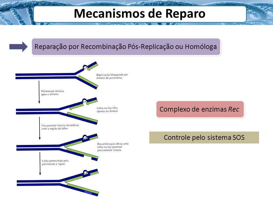 Mecanismos de Reparo Reparação por Recombinação Pós-Replicação ou Homóloga. Complexo de enzimas Rec.