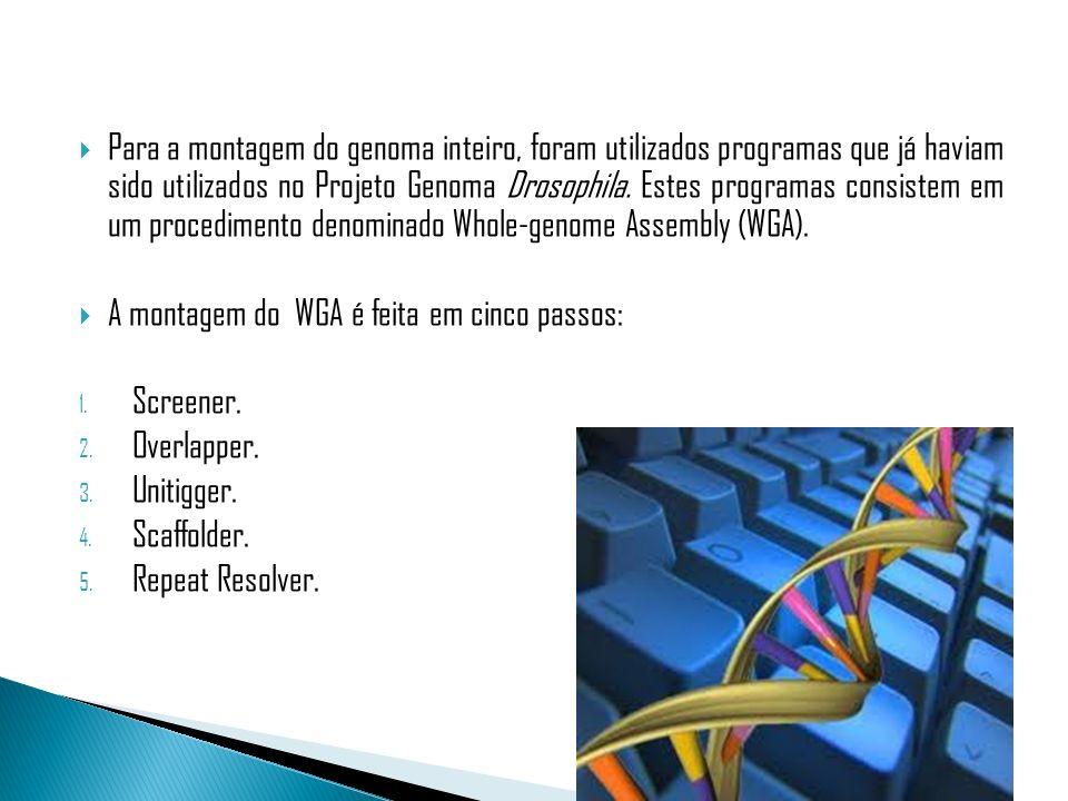 Para a montagem do genoma inteiro, foram utilizados programas que já haviam sido utilizados no Projeto Genoma Drosophila. Estes programas consistem em um procedimento denominado Whole-genome Assembly (WGA).