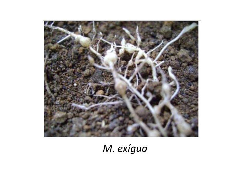 M. exígua