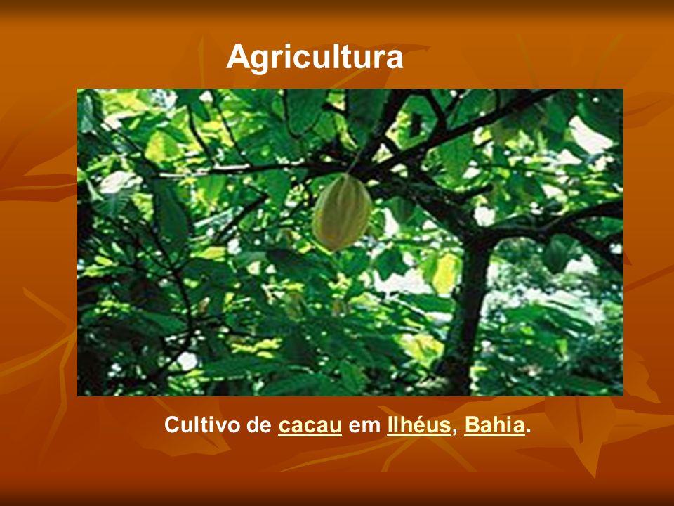 Cultivo de cacau em Ilhéus, Bahia.