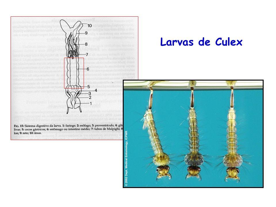 Larvas de Culex