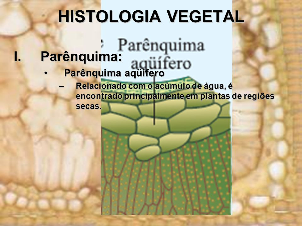 HISTOLOGIA VEGETAL Parênquima: Parênquima aqüífero